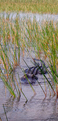 safety-wildlife-alligator-grass