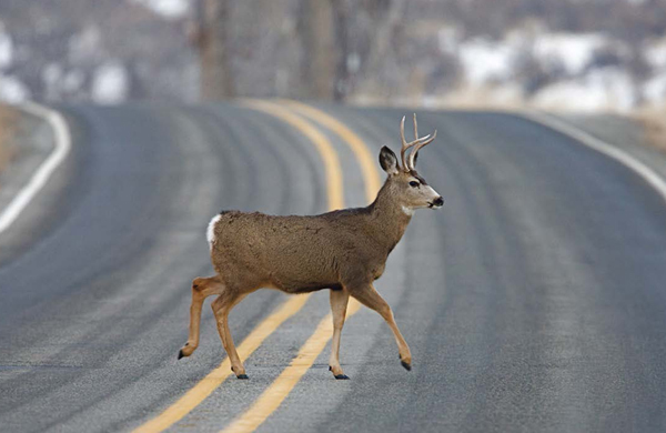 safety-deer-road-collision-driving